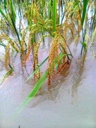 banjir di kapurinjing foto1602
