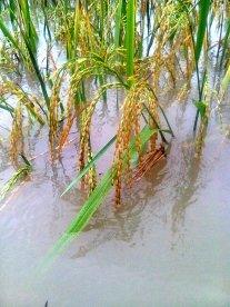 banjir di kapurinjing foto16021