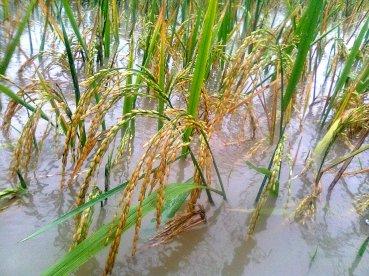 padi kebanjiran